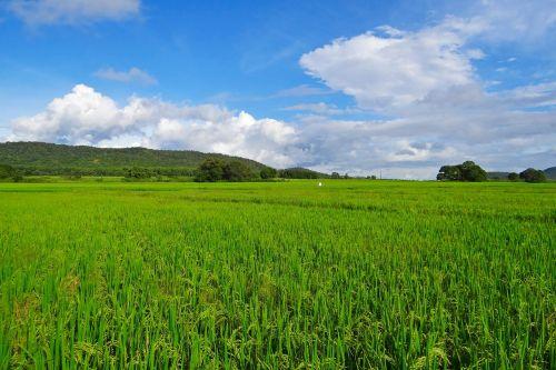 ryžiai,paddy,auginimas,Žemdirbystė,pasėlių,žemės ūkio paskirties žemė,kaimas,javai,auginami,kraštovaizdis,dangus,debesys,Hubli-Siris kelias,mundgod,Karnataka,Indija