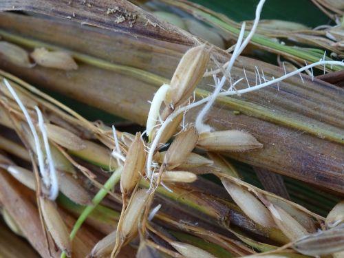 ryžiai,sėkla,dygsta sėkla,šaknis
