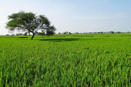 ryžių laukai,gangavati,Karnataka,Indija,paddy,ryžių paddy,Žemdirbystė,ryžiai,ūkininkavimas,derlius,žemės ūkio paskirties žemė,pasėlių,žemės ūkio,augalas,lauke,kraštovaizdis,peizažas,natūralus,laukiniai,lauke,aplinka,vaizdingas,žemė,gamta