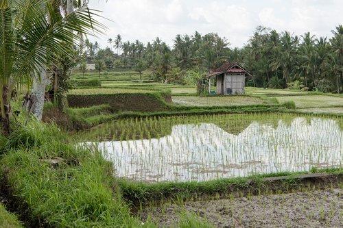 ryžių ryžių laukų purškimas, ryžiai Paddy, ryžių laukas, ryžių, derlius, Paddy, kraštovaizdis, Žemdirbystė, pobūdį, pasėlių, Žemės, ūkis, žemės, kaimo, žemės ūkio naudmenų, kaimo, Ubud, Bali, Indonezija