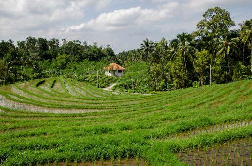 ryžių terasos,paddy,laukai,Žemdirbystė,asija,ryžių laukai,plantacija,ryžiai,laukas,paddy laukas,žalias,medžiai,atogrąžų,gamta,kaimas