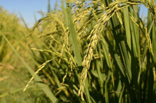ryžiai iki japonų,ekologiški ryžiai,ryžiai