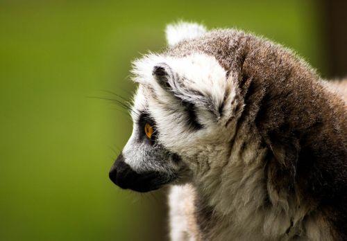 Ring tailled lemuras,Madagaskaras,laukinė gamta,lemūrai,gyvūnas,gamta,žinduolis,primatas,žiedas,laukiniai,beždžionė,žieduotas taurė,kailis,mielas,uodega,balta,afrika,nykstantis,juoda,tailed,zoologijos sodas,dryžuotas,miškas,džiunglės,žiūri,lauke,lemūrai,portretas,akis,veidas,pilka,juostelės,žvilgsnis,rūšis,laukinės gamtos fotografija,gyvūnų fotografija,zoologijos sodas gyvūnas,Jorkšyro laukinės gamtos parkas,nelaisvė,pūkuotas