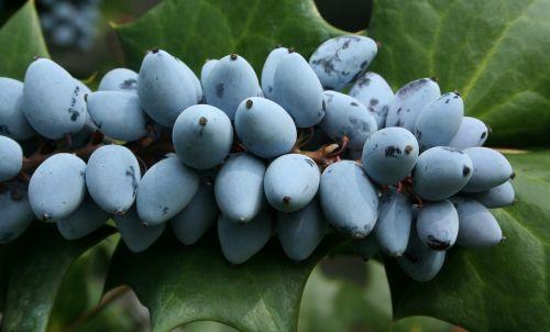 prinokę,uogos,violetinė,Vynuogė,Holly,rūgštus,kartaus,bjaurus,degustacija
