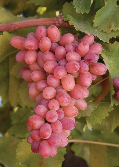 vynuogės, klasteris, prinokę, derlius, Žemdirbystė, viešasis & nbsp, domenas, tapetai, fonas, vyno fabrikas, vynuogynas, vaisiai, augti, raudona, vynas, uogos, prinokę vynuoges