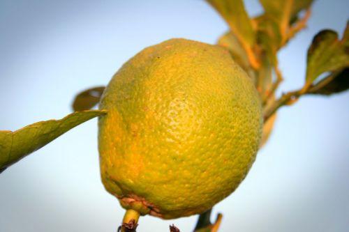 vaisiai, citrusiniai, citrina, geltona, stiebas, žalias, prinokę citrina