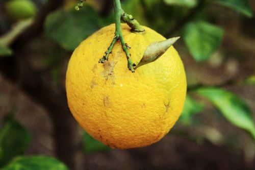 vaisiai, geltona, šviesus, prinokę, citrina, prinokę citrina