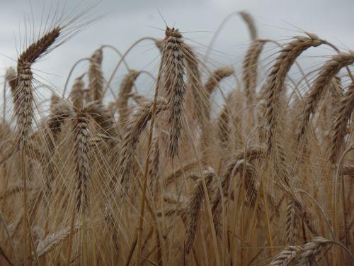 laukas, kvieciai, galvutės & nbsp, kviečiai, grūdai, prinokę & nbsp, kviečius, ruda & nbsp, kviečiai, stiebai, prinokę kviečiai