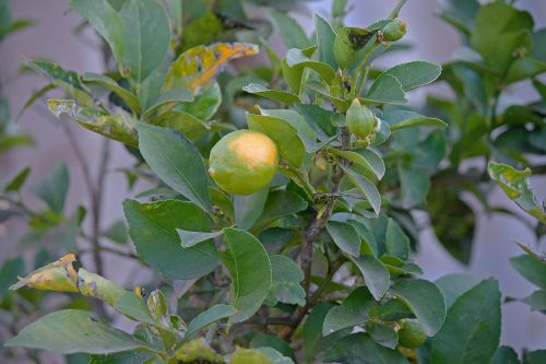 medis, vaisiai, citrina, citrusiniai, geltona, žalias, lapai, sūrio citrina