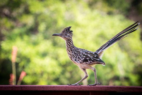 roadrunner,paukštis,laukinė gamta,gamta,portretas,gegutė šeima,geococcyx californianus,chaparral gaidys,žemės gegutė,gyvatė žudikas,snapas,plėšrūnas,plunksna,kelio bėgikas,Iš arti,lauke