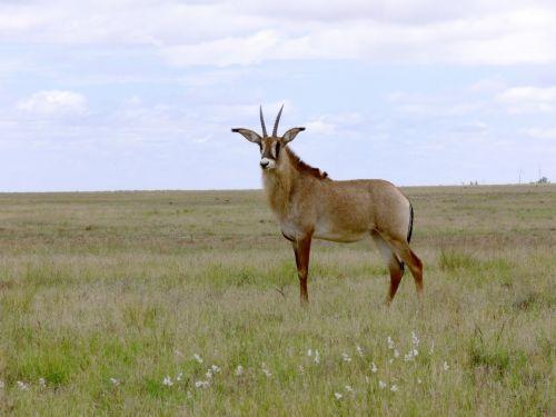 Buck, antilopė, Roan & nbsp, antilopė, afrika, Pietų Afrika, didelis & nbsp, žinduolis, keršto antilopė