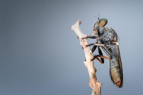 robberfly,vabzdys,makro,gyvūnas,detalus,didinimas