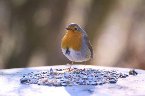 robin,paukštis,sodas,erithacus rubecula,Uždaryti,maža paukštis,mažas,giesmininkai,sodo paukštis