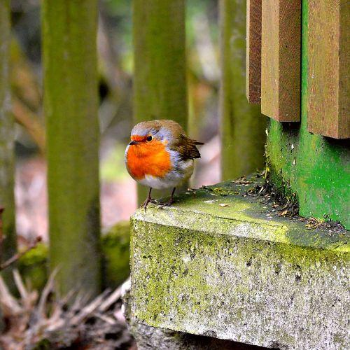 robin,giesmininkas,Uždaryti,sodas,giesmininkai,gamta,sodo paukštis,mažas,gyvūnų pasaulis,gyvūnas,maža paukštis,paukščiai,pavasaris,maitinimas,paukščiai,paukštis,plunksna,senas pasaulinis flycatcher,raudona,dainuoja,sėdi,sąskaitą,graži,rūšis,plumėjimas,gražus