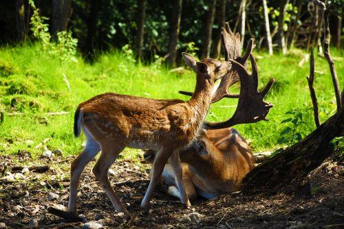 stiragai,Hirsch,laukiniai,miškas,antler,gamta,gyvūnas,paprastosios elnies,scheu,raudonas elnias,pieva,nemokami elnias,užtvanka laukinė,gyvūnų pasaulis,žinduolis,zoologijos sodas,kailis,žvilgsnis,jaunas gyvūnas,Kitz,jaunas,mielas,kailis,laukinio gyvenimo parkas,laukinis gyvūnas,mažas,jauni elnias,bambis,gerti,čiulpti,lauke,miško gyvūnas,šešėlis,europos elniai,vasara,ganykla,saulė,dykuma,gaubtas