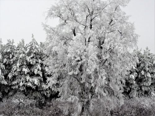 romantika,snieguotas,sniego romantika,gamta,šaltis,sniegas,medžiai,žiema,grožis,grazus
