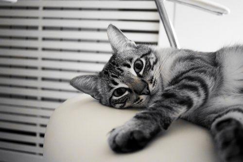 katė,naminis gyvūnėlis,poilsis,balta,gyvūnas,kačių,kačiukas,atrodo,dizainas,nagai,kačių išvaizda,kačių akys,kačių nosis,katės namai,draugas,žinduolis,paktas