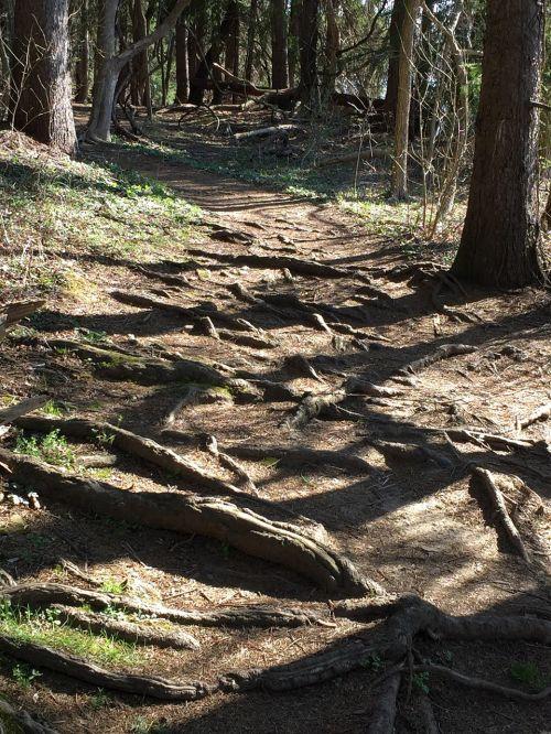 šaknys,kelias,medis su šaknimis,sunkus kelias