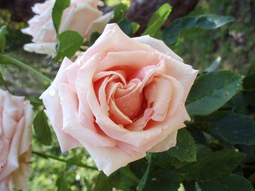 Rosa, Gėlė, Ro, Rožinis, Gėlės, Sodas
