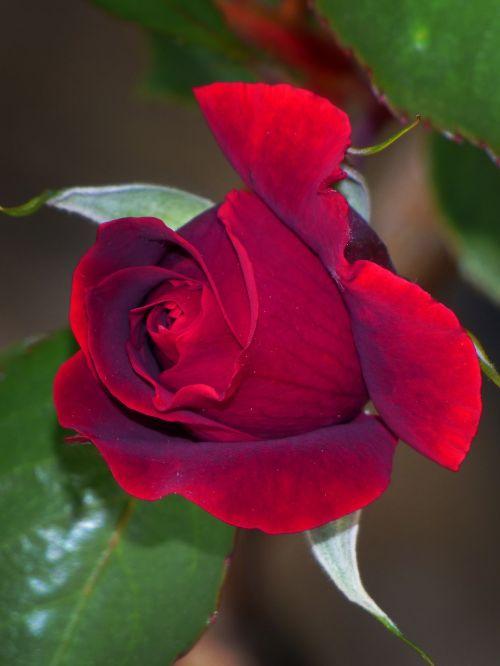 rosa,kokonas,Raudona roze