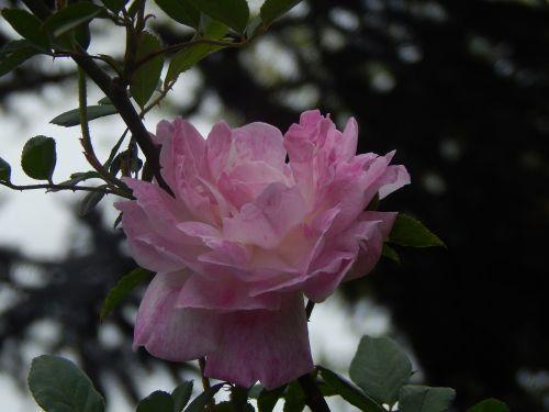 rosa,rožinės žiedlapių,saulėlydis,penumbra