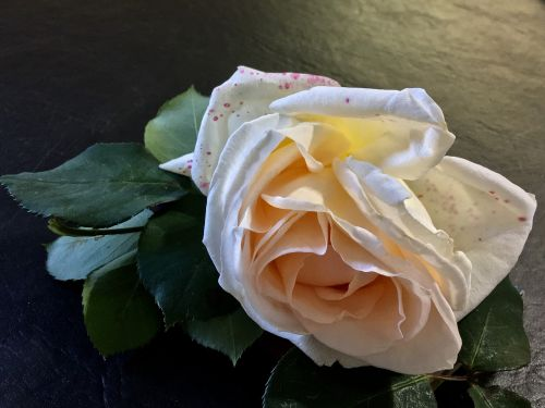 rosa,rožinis,rožinės žiedlapių,rožinė gėlė,rožinės gėlės,rožės,gamta,sodas,augalas,žiedlapiai,spalva,žiedlapiai geltoni,rožių žiedlapiai,gėlė,gražus,gėlės,gėlė,pavasaris