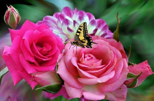 rosa,rožės,rožinis,dahlia,dahlia sujungta,violetinė dahlia,sodas,gėlės,gamta,augalas,gėlė,drugelis,dekoratyvinė gėlė