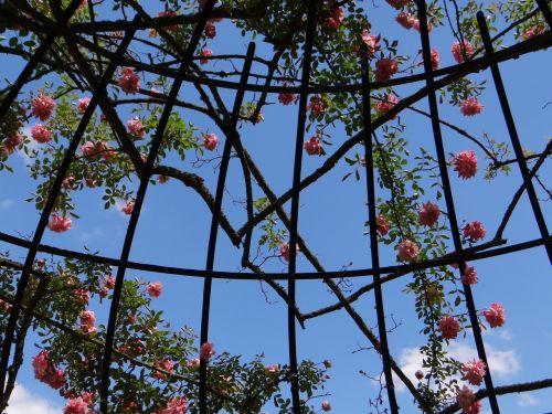 rozmarinas,botanikos sodas,pavasaris,rėmas,metalas,sodas,saulė,gėlė,žalias,žiedlapis,rožinis,žydėjimas,gėlių sodas,gamta,dangus