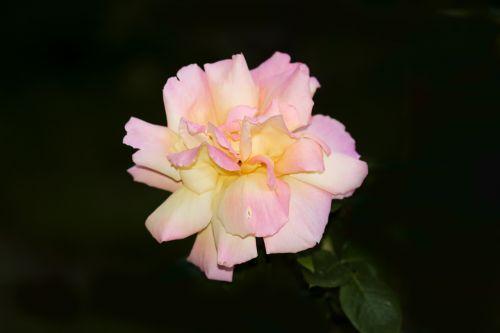 rožė,sodas,gėlės,rožės,gėlė,karalienė gėlių,šviesus,raudona,augalas,rožinis,pavasaris,žiema,makro,švelnus,gamta,flora,graži gėlė,sodo gėlė