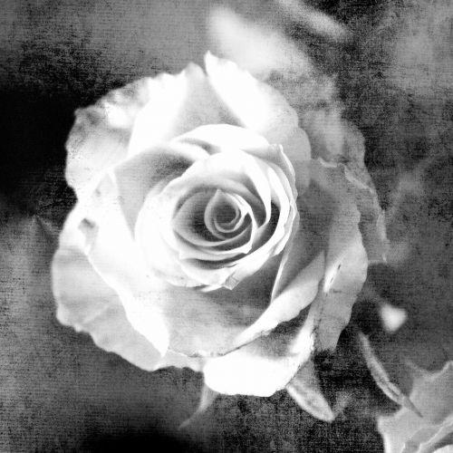 rožė,poveikis,gėlė,žiedas,žydėti,augalas,išaugo žydėti,žydėti,Uždaryti,rožių žiedlapiai,romantika,menas,meniškai,gražus,flora,dekoratyvinis,deko,apdaila,vintage