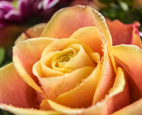 rožė,žiedas,žydėti,kilnus,frisch,gėlė,sodas,oranžinė,žydėti,lašas vandens,veisimas
