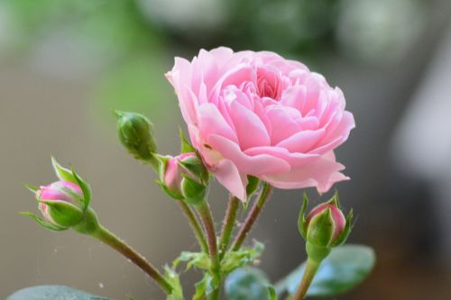 rožė,rožinė rožė,budas,žiedas,žydėti,rožinis,sodo rožės,gėlė