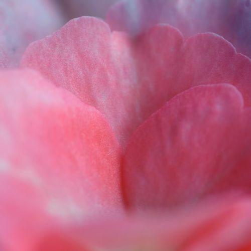 rožė,žiedlapis,rožinis,žiedlapis rožių,gėlė,makro,gamta