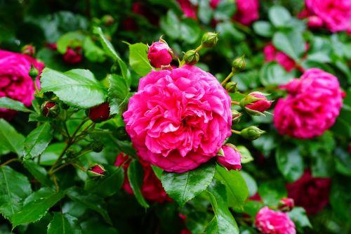 rožė,rožių krūmas,išaugo žydėti,rožių šeimos,rožinis,gėlė,žiedas,žydėti,sodas,žydėti,rožinis pumpuras