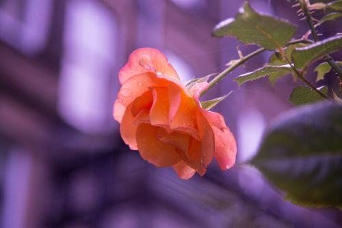 gėlė, gėlės, meilė, natūralus, gamta, valentine, rožė
