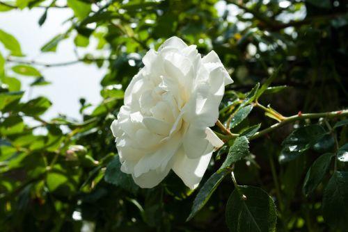 rožė,balta,gamta,žiedas,žydėti,lapai,žalias,išaugo žydėti