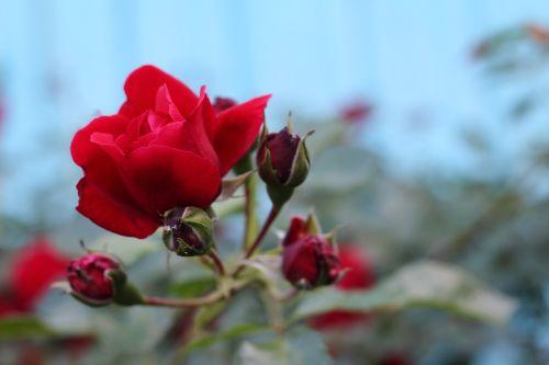 rožė,raudona,raudona,gėlė,vasara,ryškios gėlės,krupnyj planas,Raudona roze