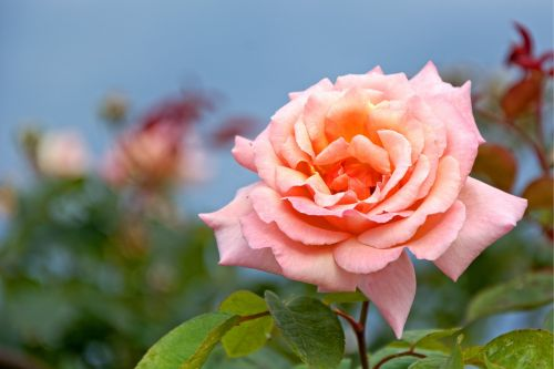 rožė,žiedas,žydėti,žydėti,rožinis,raudona,oranžinė,išaugo žydėti,romantiškas,sodo rožė,grožis,gamta,kvepalai