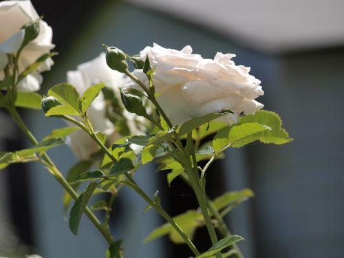 rožė,sodas,kvepianti gėlė,žiedas,žydėti,gamta,išaugo žydėti,žydėti,vasara,budas,balta,žalias