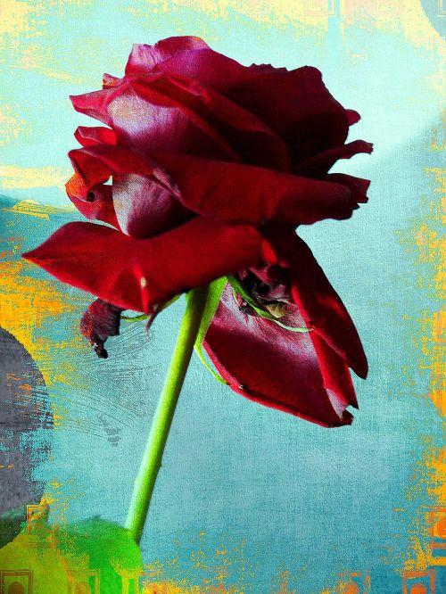 rožė,raudona,firma,violetinė,aksomas,švelnus,gražus,grožis