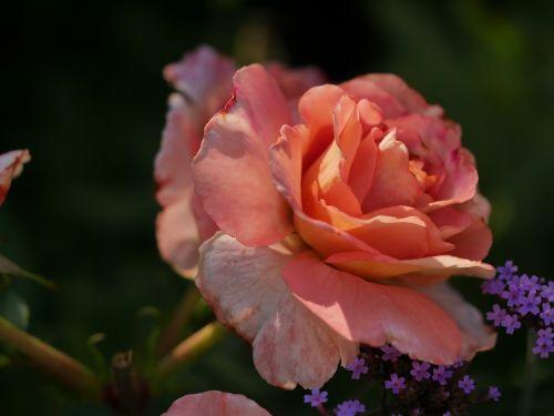 rožė,oranžinė,šešėlių žaidimas