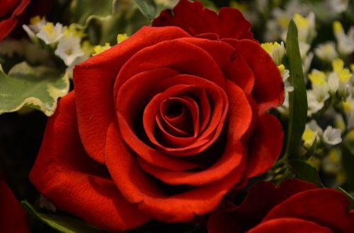 rožė,Valentino diena,meilė,romantika,raudona,Raudona roze,žiedas,žydėti,rožių žydėjimas,emocija,erblühend,romantiškas,augalas,kvepalai,budas,gamta,išaugo žydėti,puokštė,žydėti,lapai,krūmas