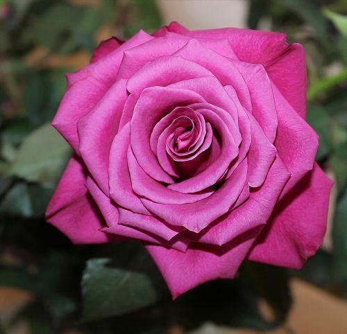 rožė,raudona,Raudona roze,fonas,romantika,meilė,valentinas,rožinis,rožinė šeštadienis,Vestuvės,patvirtinimas,šventės,vienas,raudona gėlė