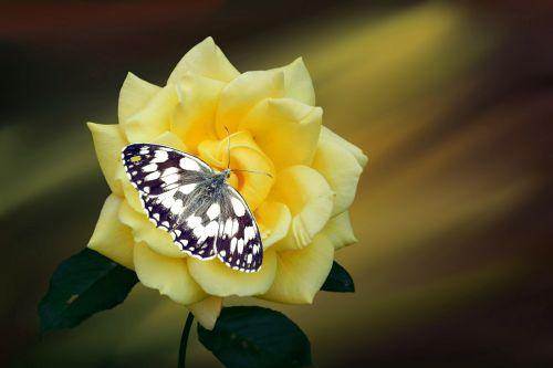 rožė,gėlė,žiedas,žydėti,geltona,vabzdys,drugelis