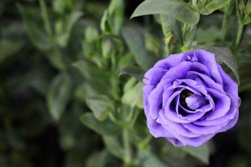 rožė,violetinė,žalias,gėlės,lapai,žydi,gaivus,augalas,graži,žalias