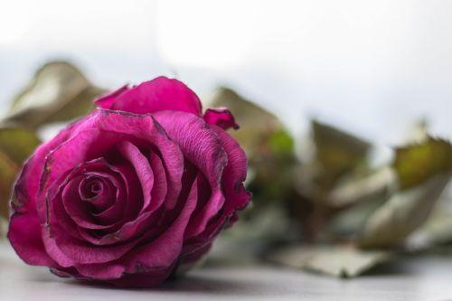 rožė,mirti,gėlė,meilė,simbolinis,augalas,gėlių