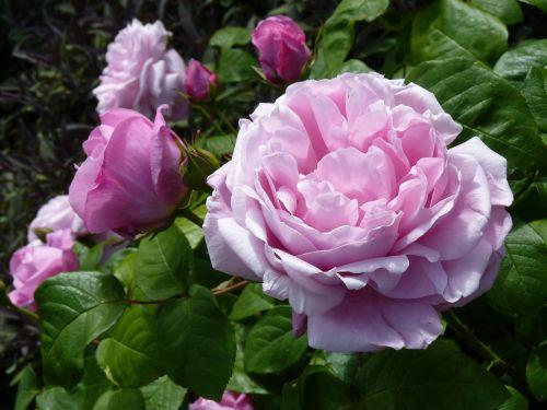 rožė,rožinis,rožinė rožė,išaugo žydėti,žiedas,žydėti,gamta,užpildytas,Uždaryti,vasara,pilnai žydėti,žalias