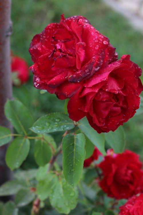rožė,pavasaris,gėlė,žiedas,žydėti,gamta,makro,raudona,raudonos rožės,vasara,romantiškas,pikonija,išaugo žydėti,augalas,rožių žydėjimas,lapai,žydėti,rožinis,spalva,lietus,liūtys,gražus,žalias,meilė,Uždaryti,graži gėlė,gėlių puokštė,aštraus gėlė