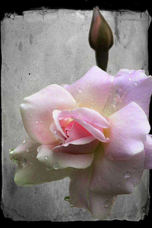 rožė,budas,gėlė,gražus,augalas,makro,rožinis,gamta,raindrop rose,žydėti,skaitmeniniai meno kūriniai,skaitmeninė kūryba,kompiuterinė grafika,skaitmeninis dizainas,santykiai,valentine,grafika,skaitmeninis,meno kūriniai,skaitmeninis menas,senas popierius,fonas