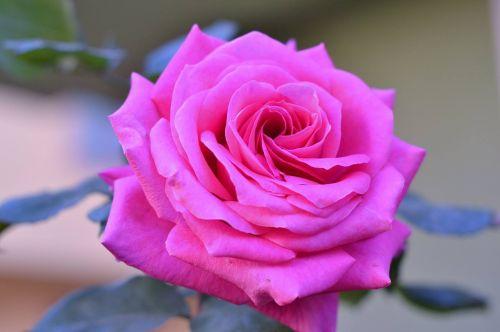 rožė,troškimas,rožinės rožės,gėlė,gamta,gražus,gėlių paveikslėlis,meilė,pavasario gėlės,nuotrauka,Mano nuotraukos